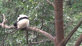 Panda dans un arbre rayant le sien de retour à Chengdu Chine banque de vidéos