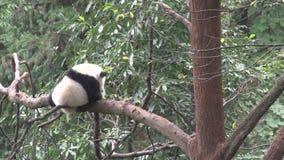 Panda dans un arbre rayant sa jambe et essais pour dormir à Chengdu Chine banque de vidéos