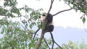 Panda dans un arbre rayant son menton et essais pour dormir à Chengdu Chine banque de vidéos