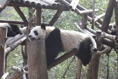 Panda de Acrobtic, Chengdu, China fotografia de stock royalty free
