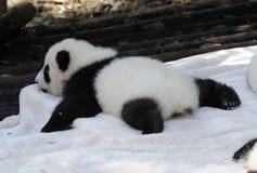 Panda de bébé Photo stock