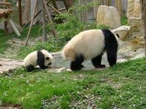 Panda de bébé avec de l'eau potable de mère Photos libres de droits
