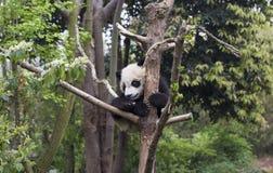 Panda de bébé sur l'arbre Images stock