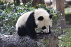 Panda de China en Chengdu Fotos de archivo libres de regalías