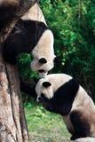 Panda de dos gigantes Fotografía de archivo