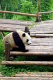 Panda de la Chine Images libres de droits