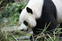 Panda de Lhinhui dans Chiangmaizoo Photo libre de droits