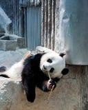 Panda de Linping Imagen de archivo libre de regalías