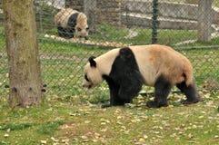 Panda de marche Photos libres de droits