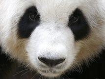 Panda in de Nationale Dierentuin van Maleisië Royalty-vrije Stock Afbeelding
