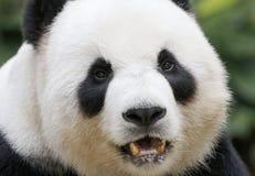 Panda in de Nationale Dierentuin van Maleisië Stock Foto's