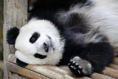 Panda in de Nationale Dierentuin van Maleisië Royalty-vrije Stock Foto's