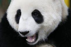 Panda in de Nationale Dierentuin van Maleisië Royalty-vrije Stock Afbeeldingen
