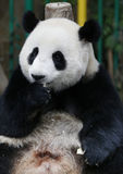 Panda in de Nationale Dierentuin van Maleisië Royalty-vrije Stock Foto