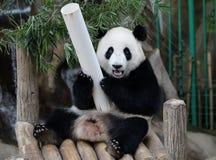 Panda in de Nationale Dierentuin van Maleisië Stock Fotografie
