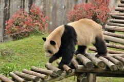 Panda de passeio Fotos de Stock Royalty Free