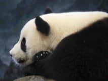 Panda de relaxamento Fotografia de Stock