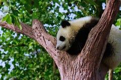 Panda de sommeil Photographie stock libre de droits