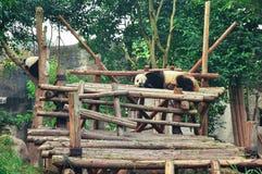 Panda de sommeil Images stock