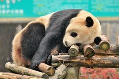 Panda de sommeil Image stock
