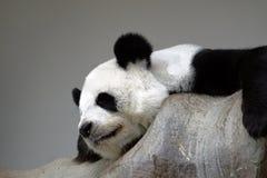 Panda de sommeil sur la roche Photo libre de droits