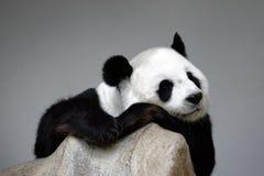Panda de sommeil sur la roche Photographie stock libre de droits