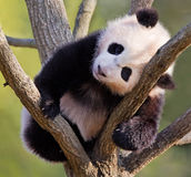 Panda del bambino in albero Fotografia Stock Libera da Diritti