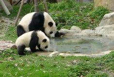 Panda del bambino con l'acqua potabile della madre Fotografia Stock