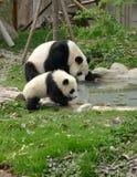 Panda del bebé con el agua potable de la madre Imágenes de archivo libres de regalías