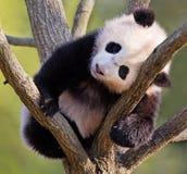 Panda del bebé en árbol Foto de archivo libre de regalías