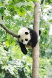 Panda del bebé en el árbol fotografía de archivo