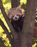 Panda del rojo del bebé Fotografía de archivo