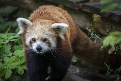 Panda della nana rossa Immagini Stock Libere da Diritti