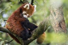 Panda della nana rossa Immagini Stock