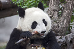 Panda, der einen Bambusschoß isst Lizenzfreie Stockfotografie