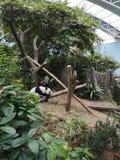 Panda di sonno fotografia stock libera da diritti