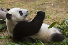 Panda die bamboe eet Stock Afbeelding