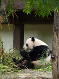 Panda die bamboe eten Royalty-vrije Stock Foto