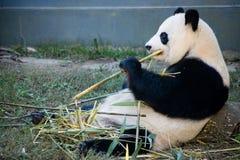 Panda die bambu eten Stock Foto's
