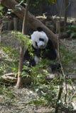 Panda die op de aarde situeren en riet eten Stock Foto's