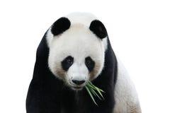 Panda die op wit wordt geïsoleerdt Stock Foto's