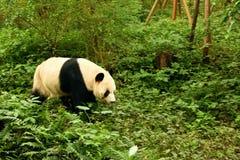 Panda die uit bij de Chengdu-Dierentuin komen te spelen royalty-vrije stock afbeelding