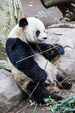 Panda do bebê Fotografia de Stock Royalty Free