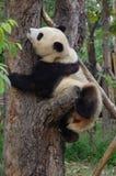 Panda do bebê imagem de stock
