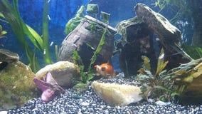 panda do peixe dourado do teil do véu Imagem de Stock Royalty Free