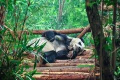 Panda do sono Imagens de Stock Royalty Free