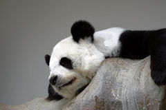 Panda do sono na rocha Foto de Stock Royalty Free