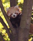 Panda do vermelho do bebê Fotografia de Stock