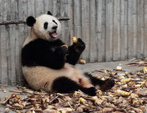 Panda  eat bamboo shoots. The giant panda open mouth laugh and eat bamboo shoots Stock Image