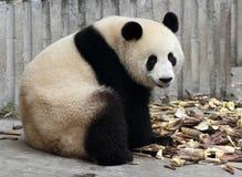Panda  eat bamboo shoots. The giant panda open mouth laugh and eat bamboo shoots Royalty Free Stock Photos